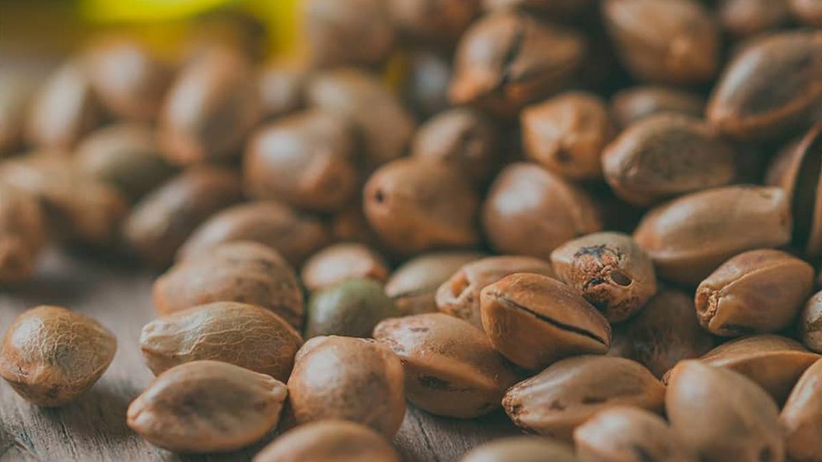 Hemp seeds CBD or THC