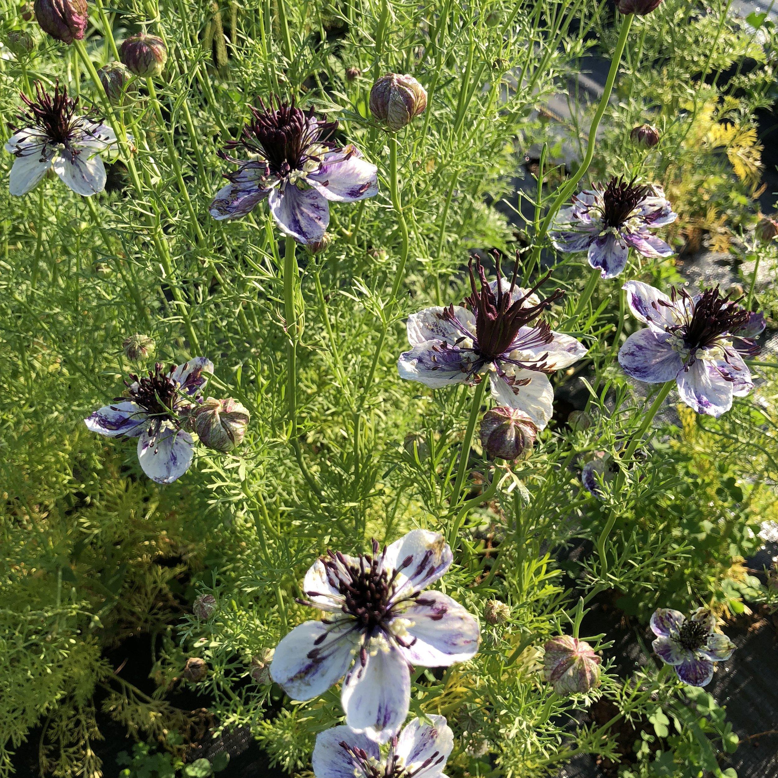 Nigella  flowers in full bloom