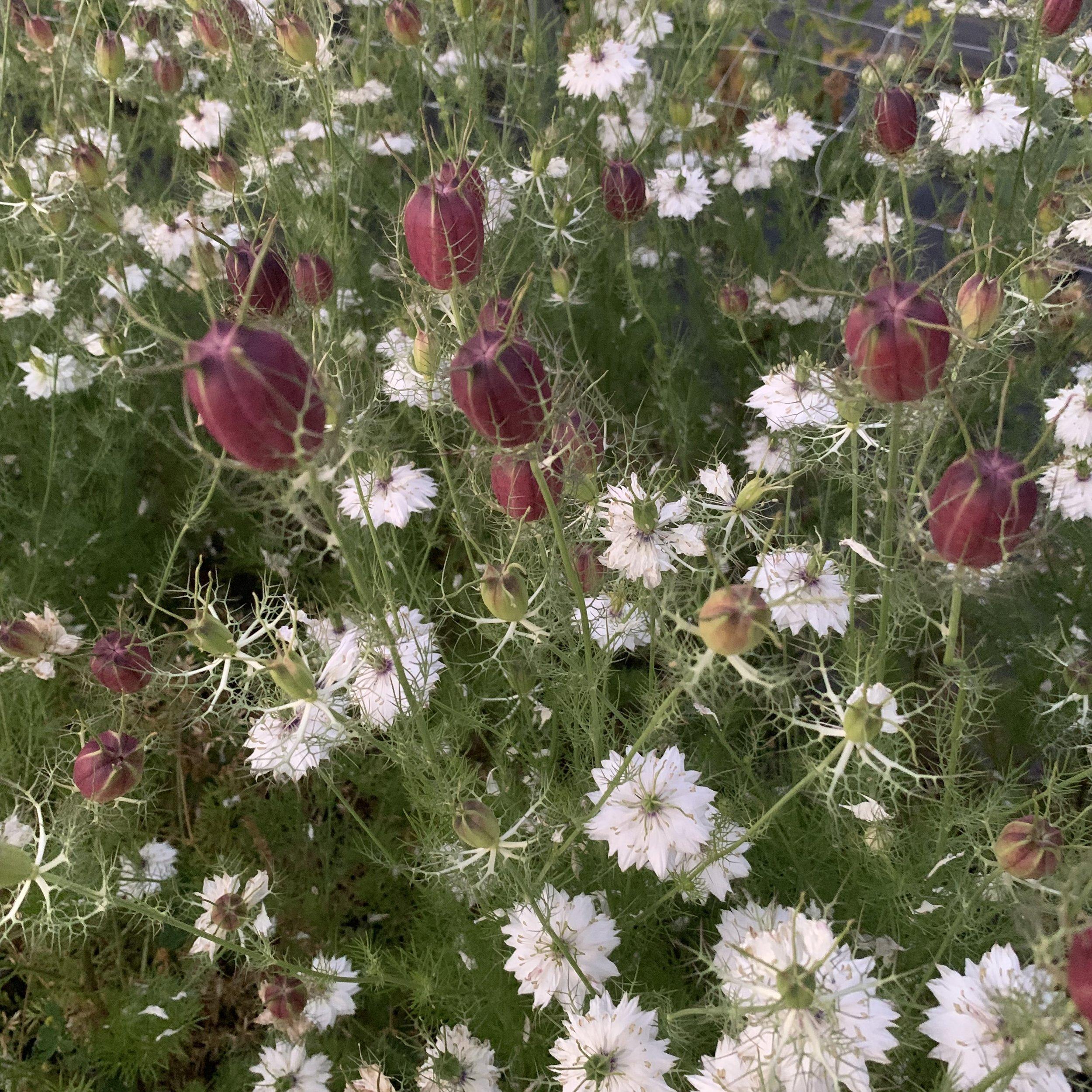 "Nigella  ""Black"" seed pods"