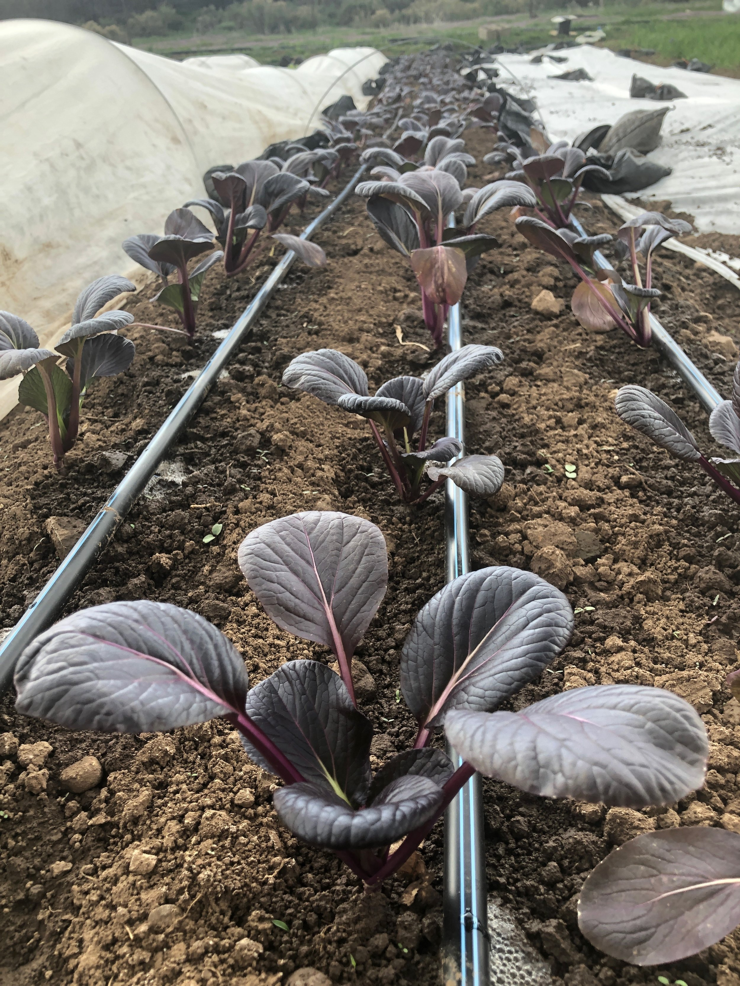 Purple bok choy receiving a much-needed breath of fresh air during a brief warm spell at the Old Fort plot