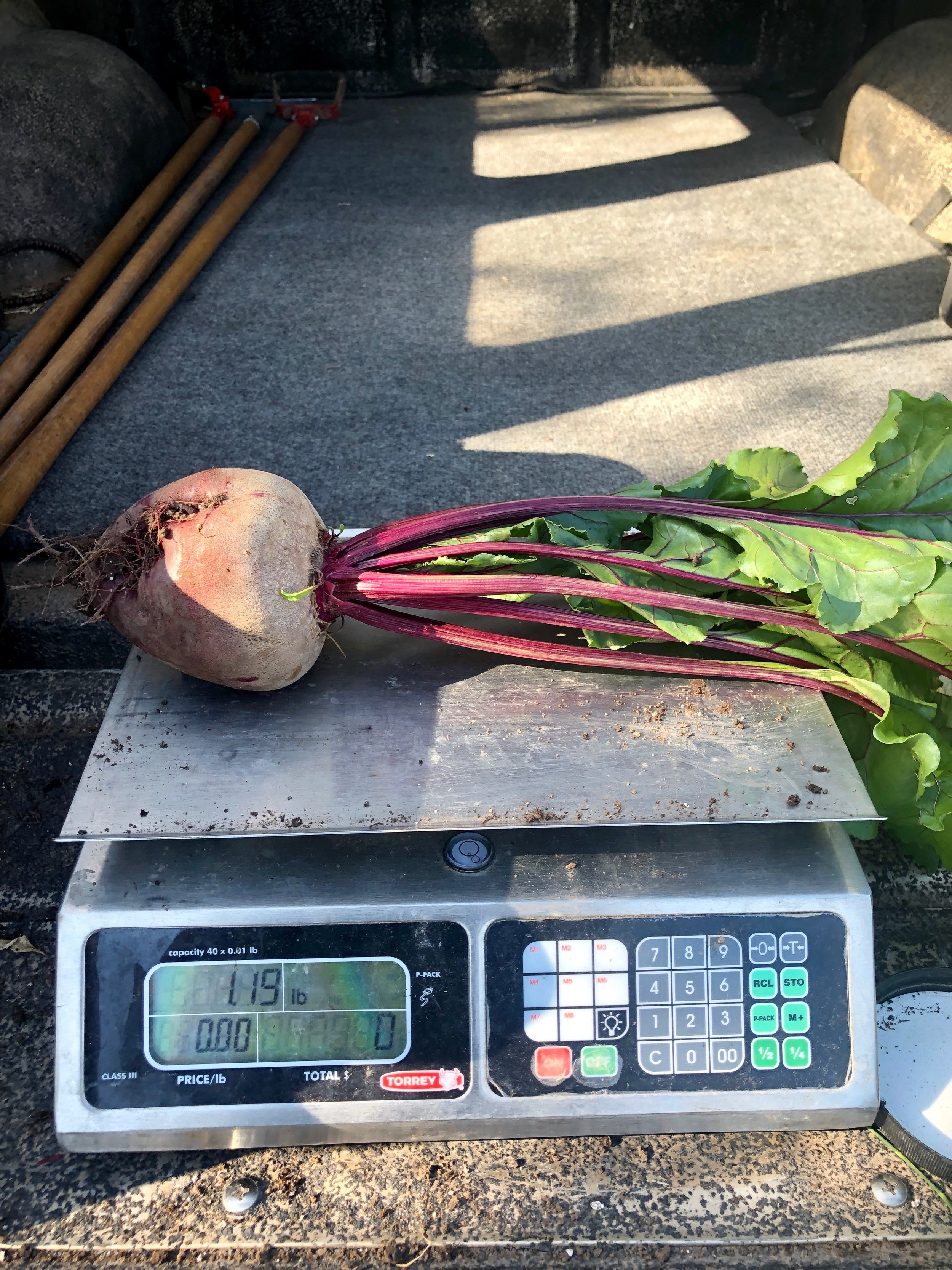 Storage beets are sizing up nicely!