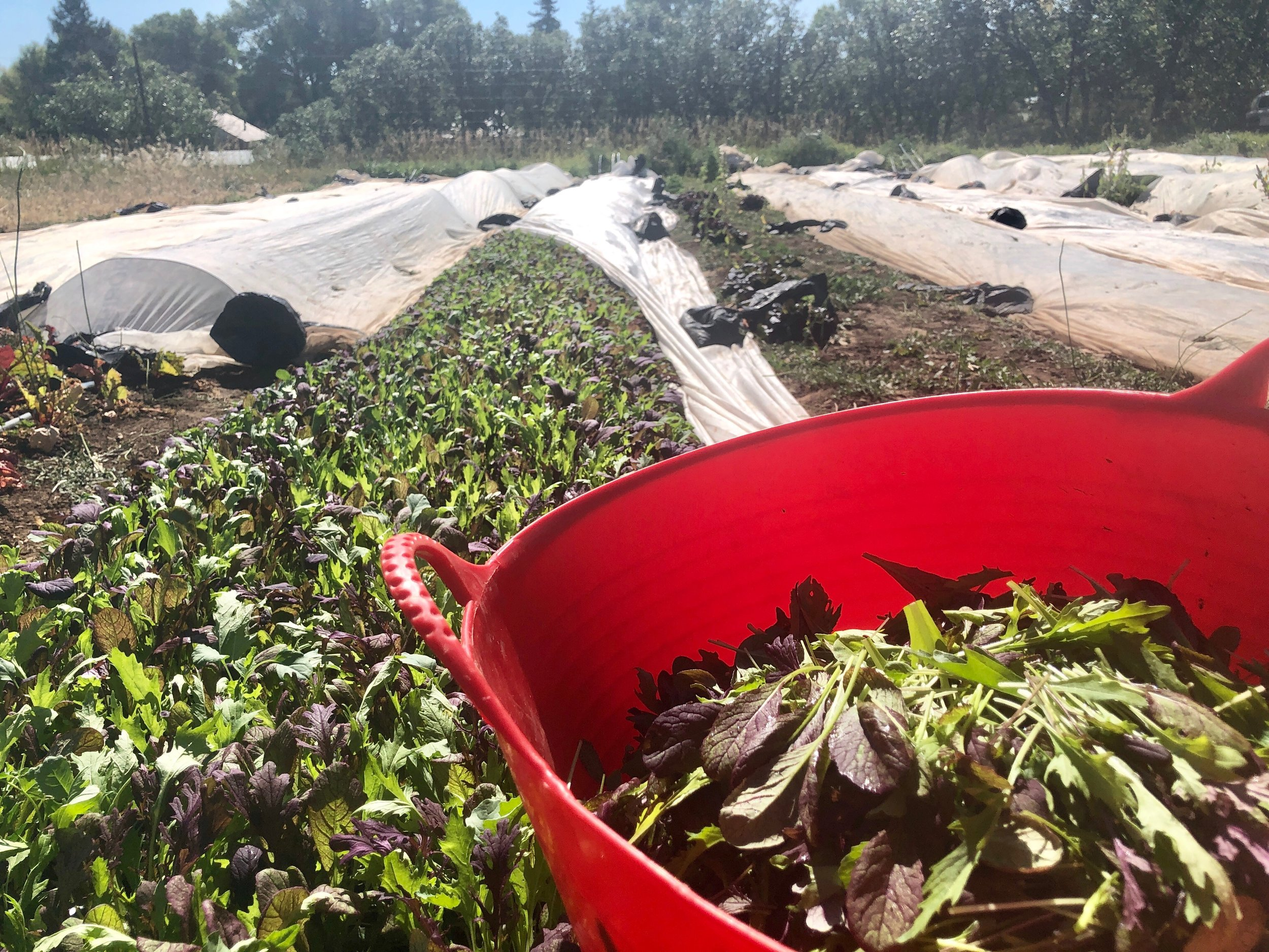 A perfect batch of baby asian greens being cut in the early morning light.