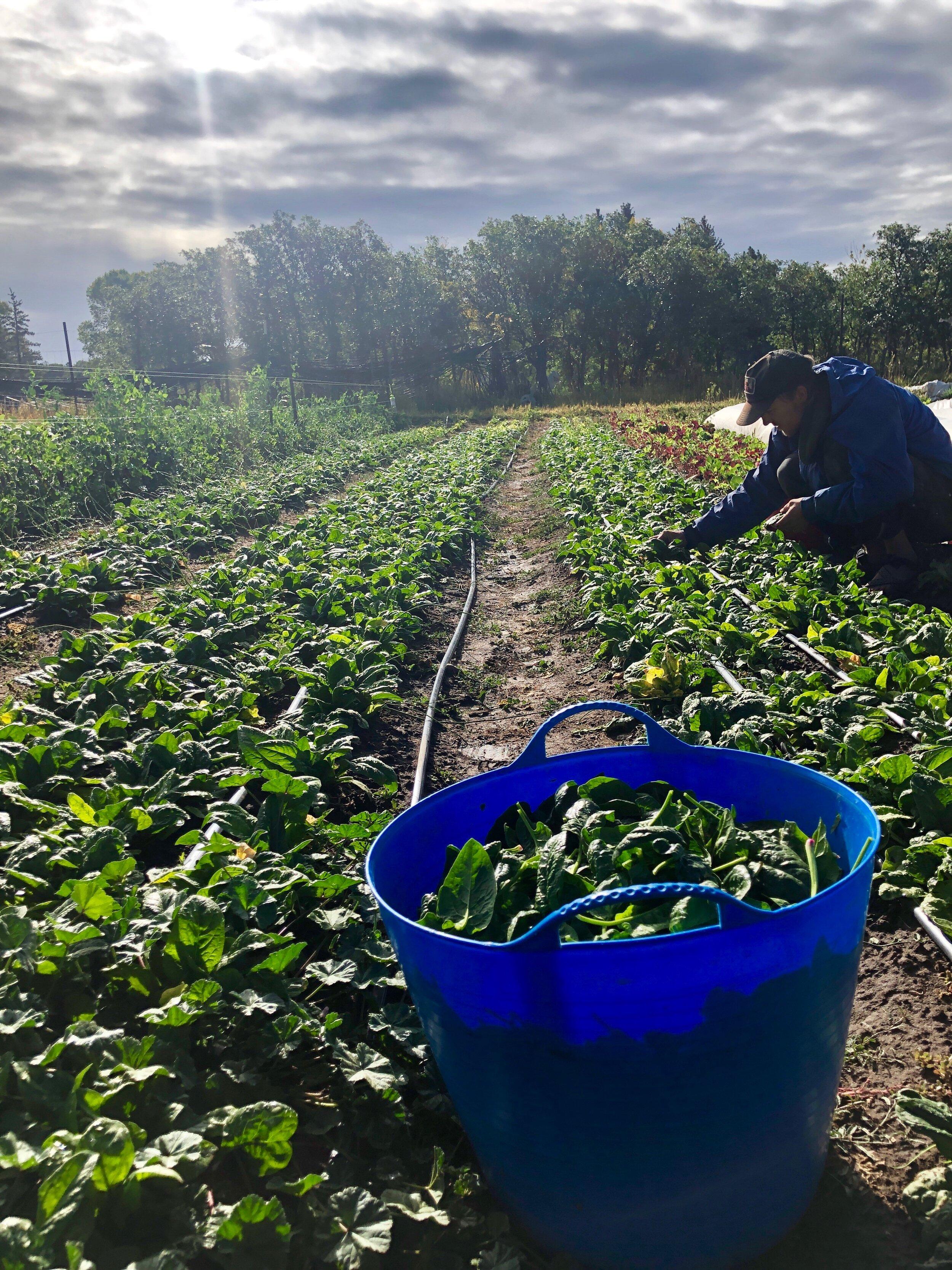 Spinach Abundance.JPG