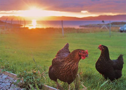 Knoydart Chickens.jpg