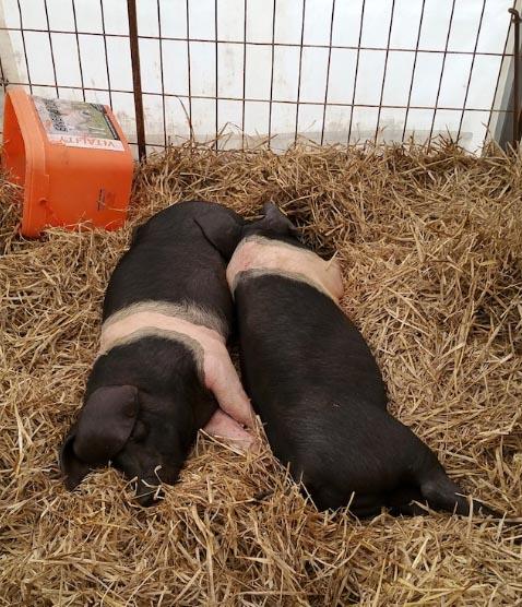 The Pigs.jpg