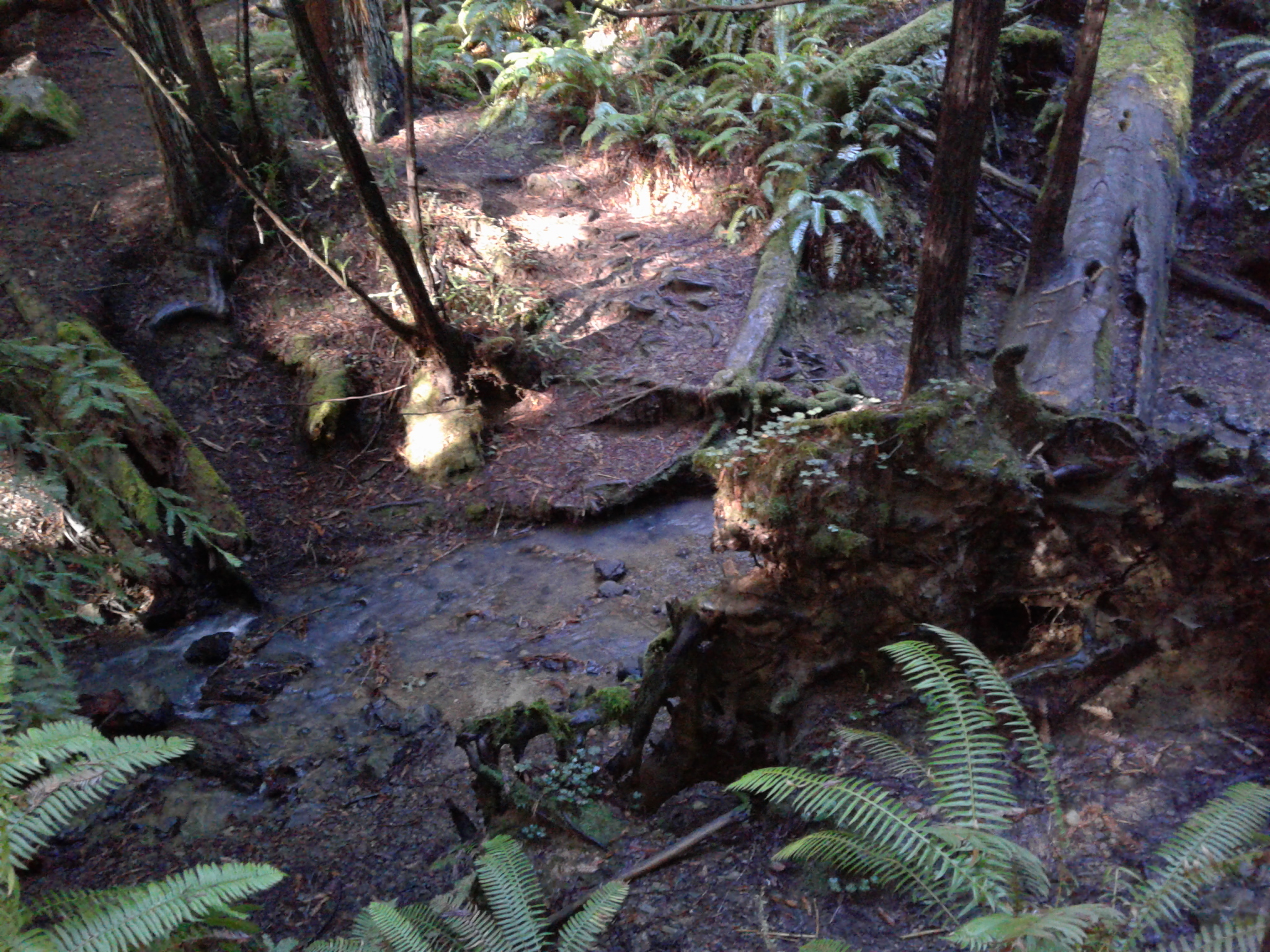 Old Growth stand at Chamberlian Creek, Mendocino County, CA. Image credit: Kyra Rice