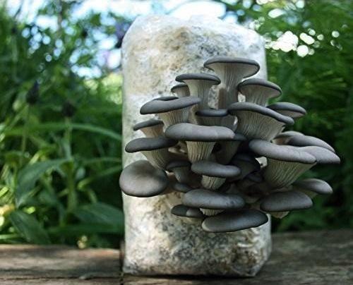 fresh-oyster-mushroom-500x500.jpg