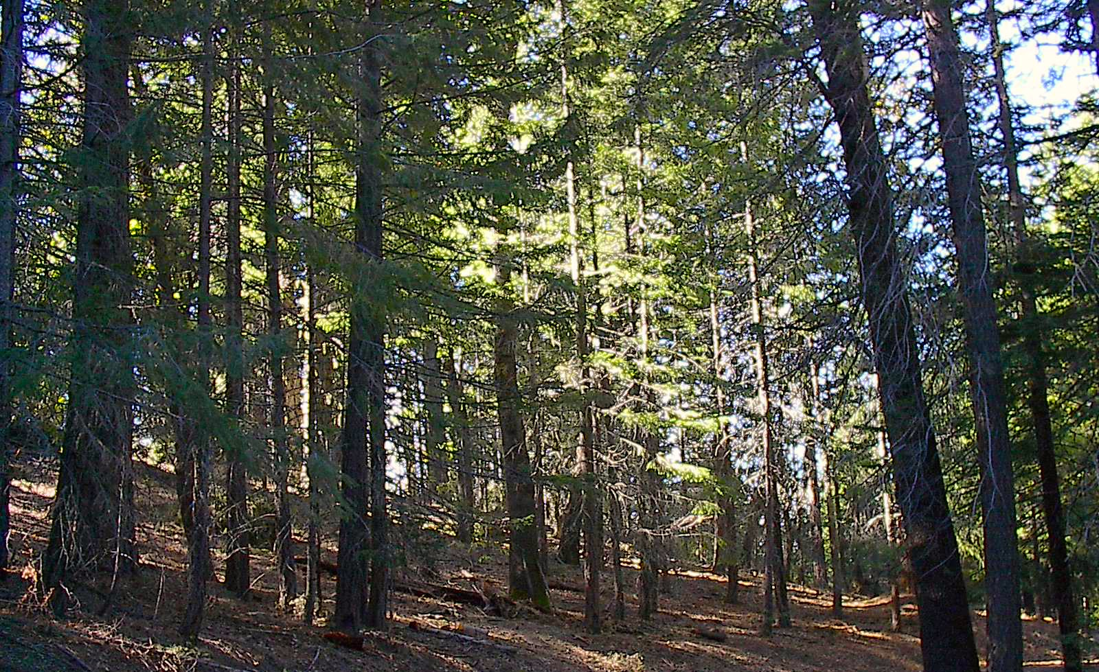 Forestland in Round Valley after selective small tree thinning by FRG member Dane Downing. Image credit: Dane Downing