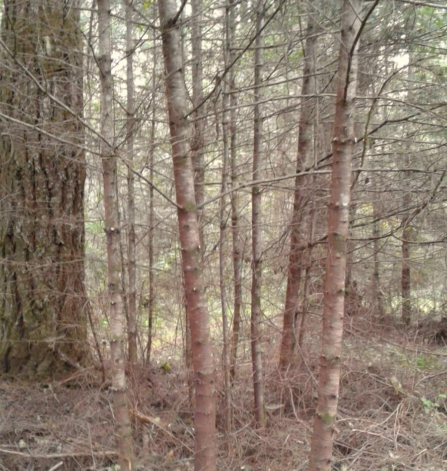 Douglas fir stand before selective thinning began.
