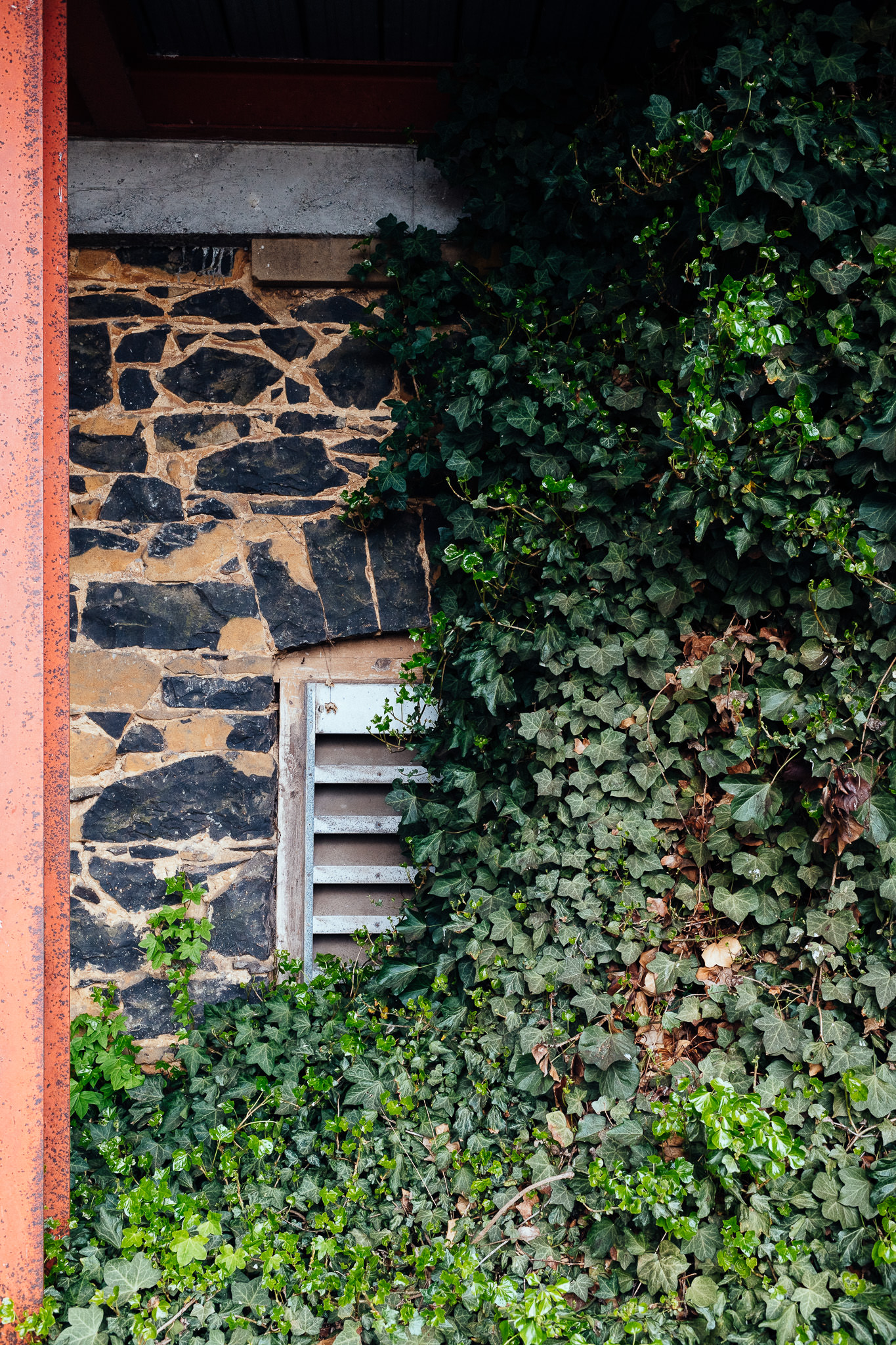 208/365 | The old Sullivan's Grain Store (early 1900s) peeking out from the ivy in the Woolworths carpark.