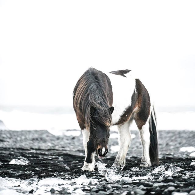 Horses of Iceland at Glacier Lagoon. This was the last shoot we did with @hilmarth85 for 'Horses ofIceland' the Book.