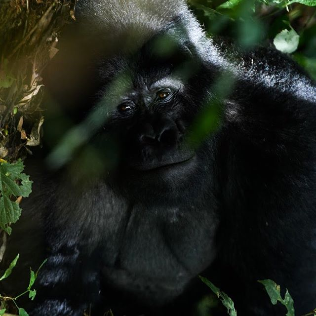 My encounter with Gorillas in North Uganda