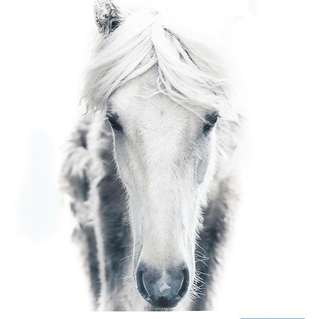 Happy #worldhorseday to every horse in the world! You have my love and respect! #horses @horsesoficeland a special thanks to @sunnuhvoll_horses !