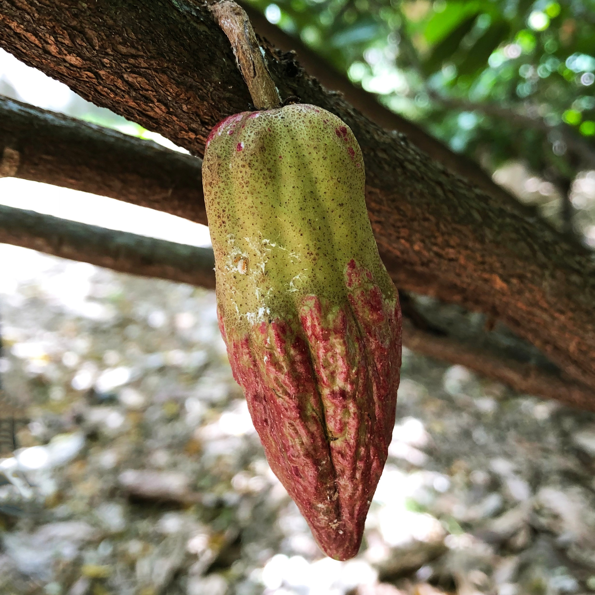 The cacao tree, also called Theobroma Cacao, is growing 20° south and north of our equator. Hot and humid - perfect conditions for cacao. Hawaii is therefore the only state in the US where cacao is growing. The tree is usually located in lower altitudes, about 700 meters above sea level or even lower. In higher altitudes the wind is stronger which could damages the crop. -