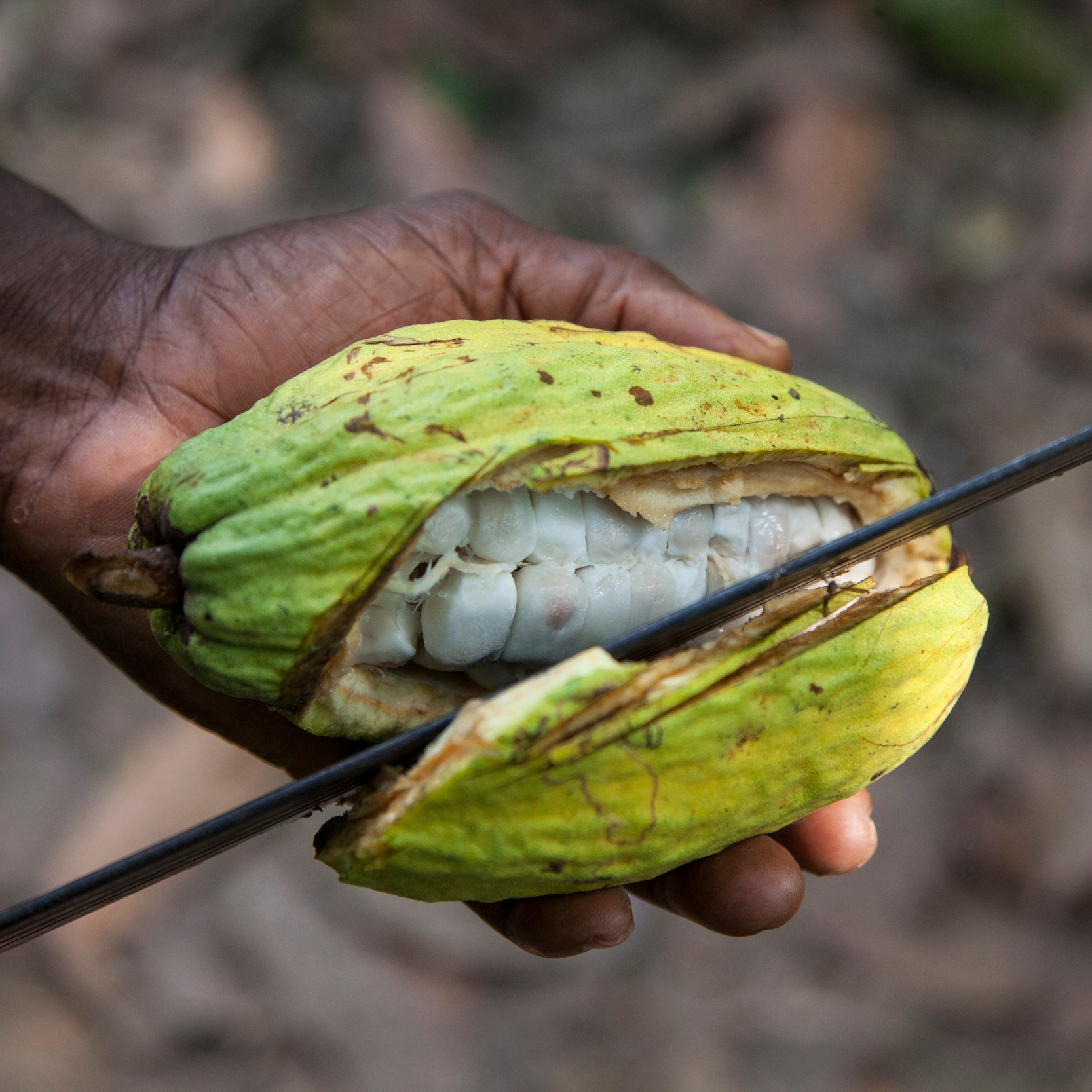 Finally when the crop is ripe, the pods are carefully cut off the tree with a machete or a knife.Each pod contains a white fruit pulp, also called mucilage (yummy), and 30-40 beans. The fruit pulp covers the beans. -