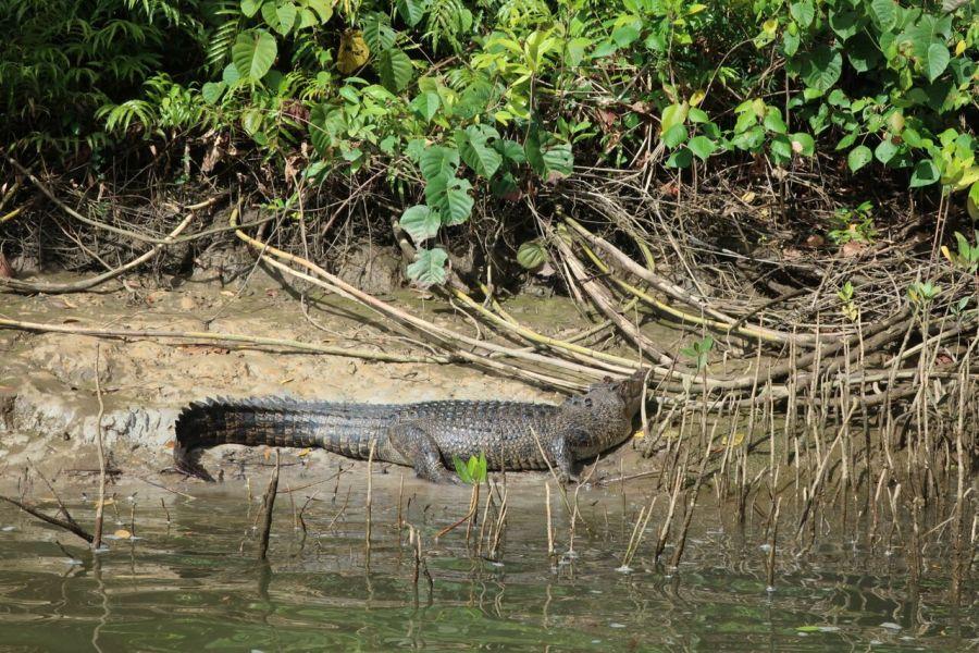 Photo-4-A-rainforest-croc.jpg