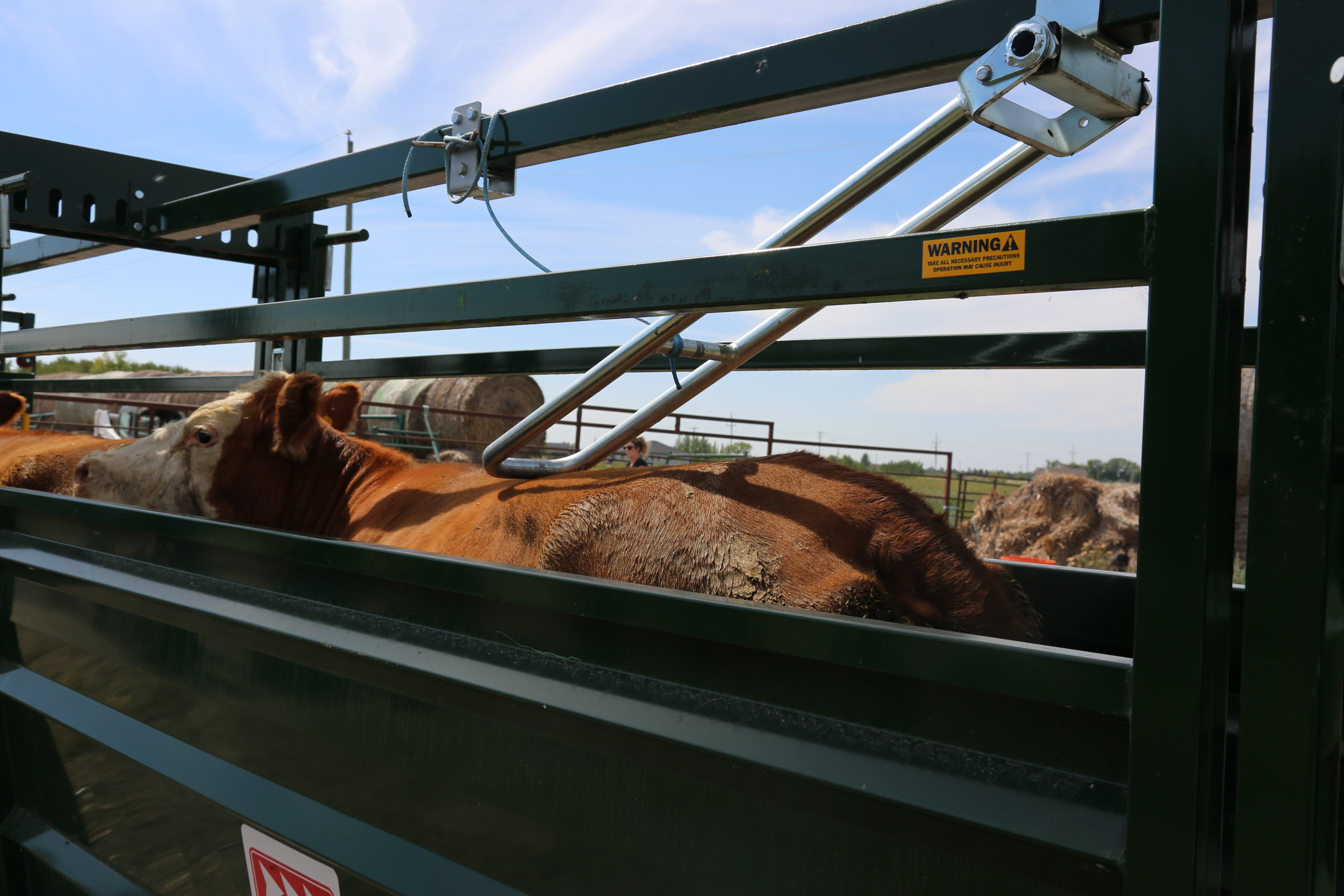 Height adjustable anti-backing bars in the Easy Flow Cattle Race keep animals moving in the right direction.