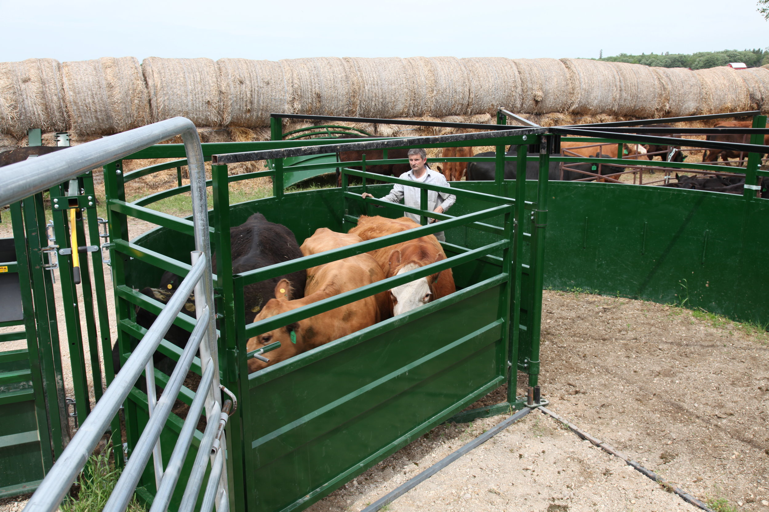 By only bringing small batches of cattle into the forcing pen at a time, handlers can utilise flight zones to move animals more efficiently. The BudFlow uses natural cattle behaviour to improve flow.