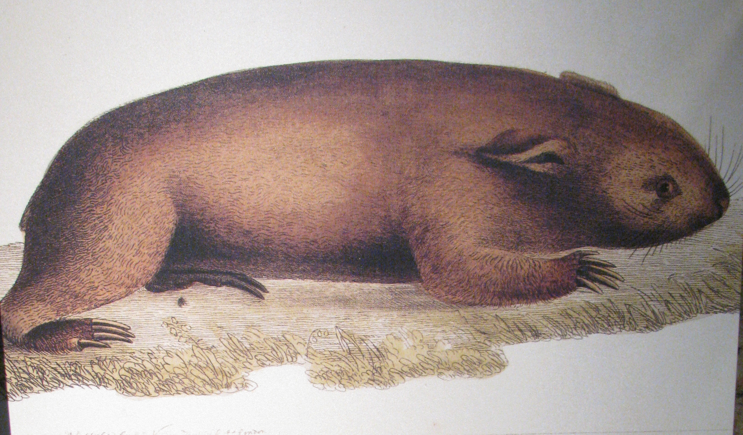 Hunter's sketch of a wombat