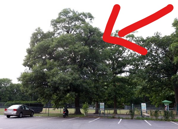 - THE CITY WOULD ALLOW A PRIVATE CONTRACTOR TO CUT DOWN THIS BEAUTIFUL 30' OAK TREE TO INSTALL STEEL CARPORTS
