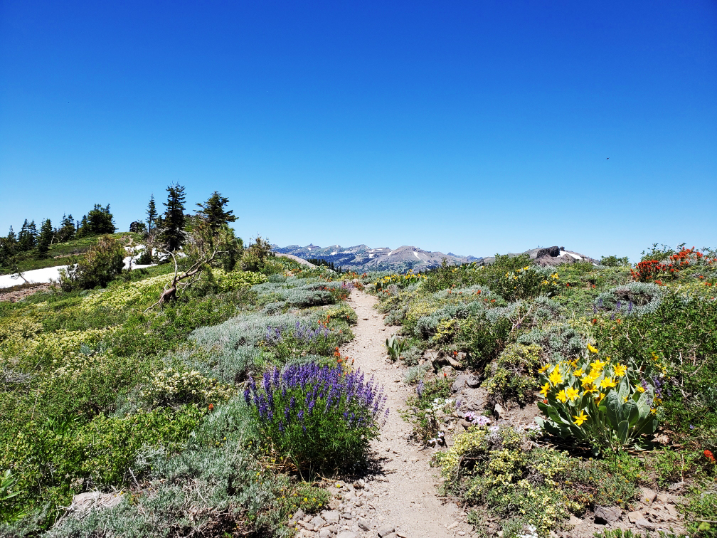 PCT-Day-54-Trail-Flowers.jpg