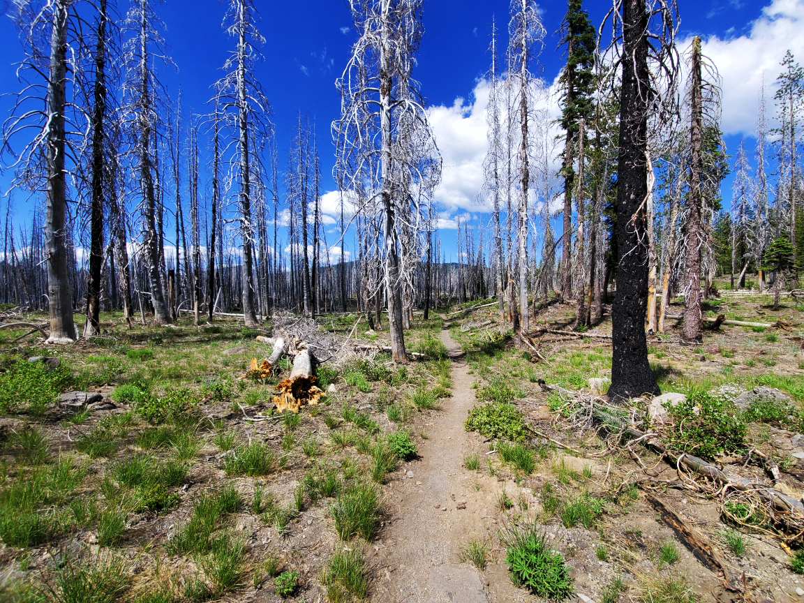 PCT-Day-60-Trees-with-Disease.jpg