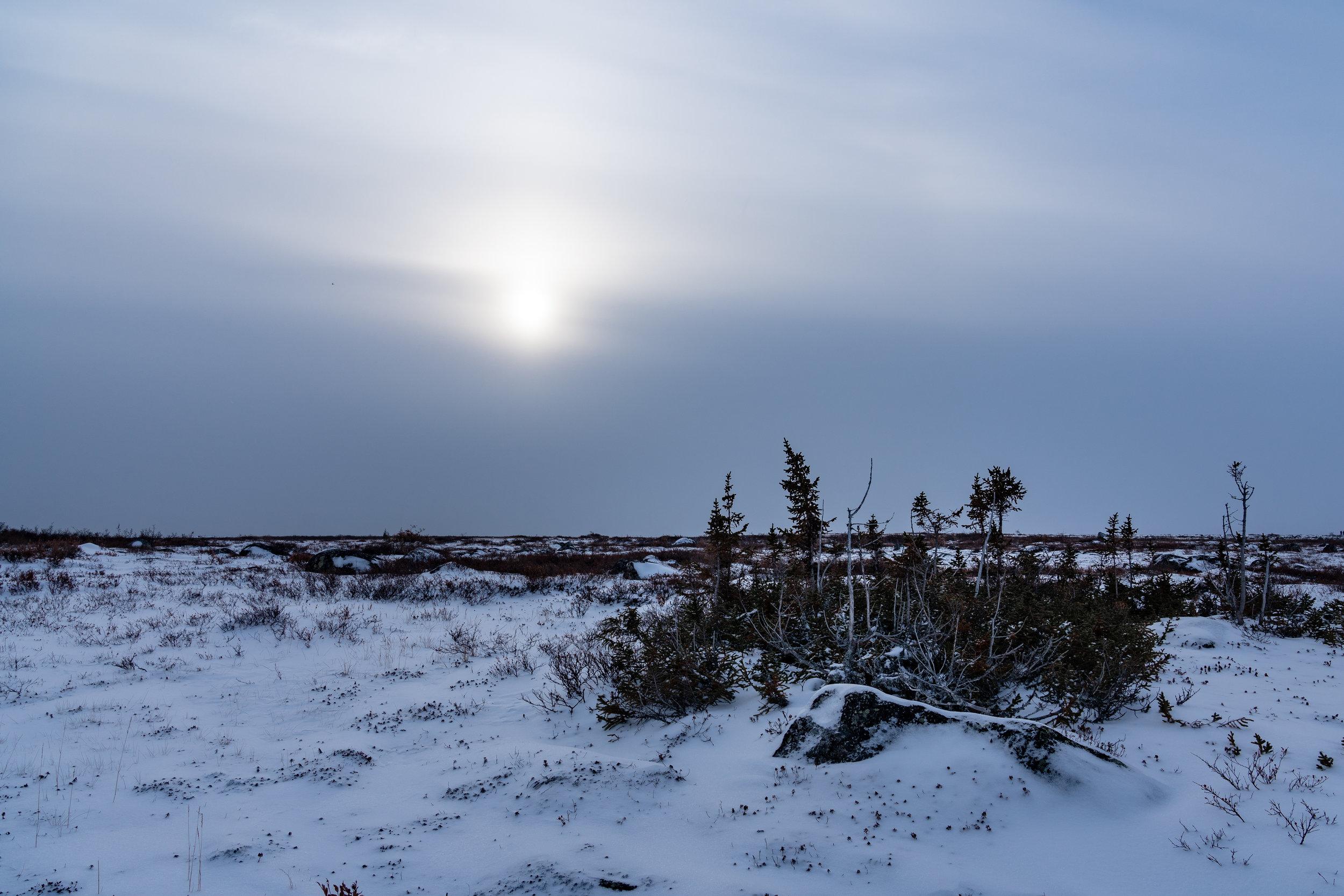 Tundra Trees