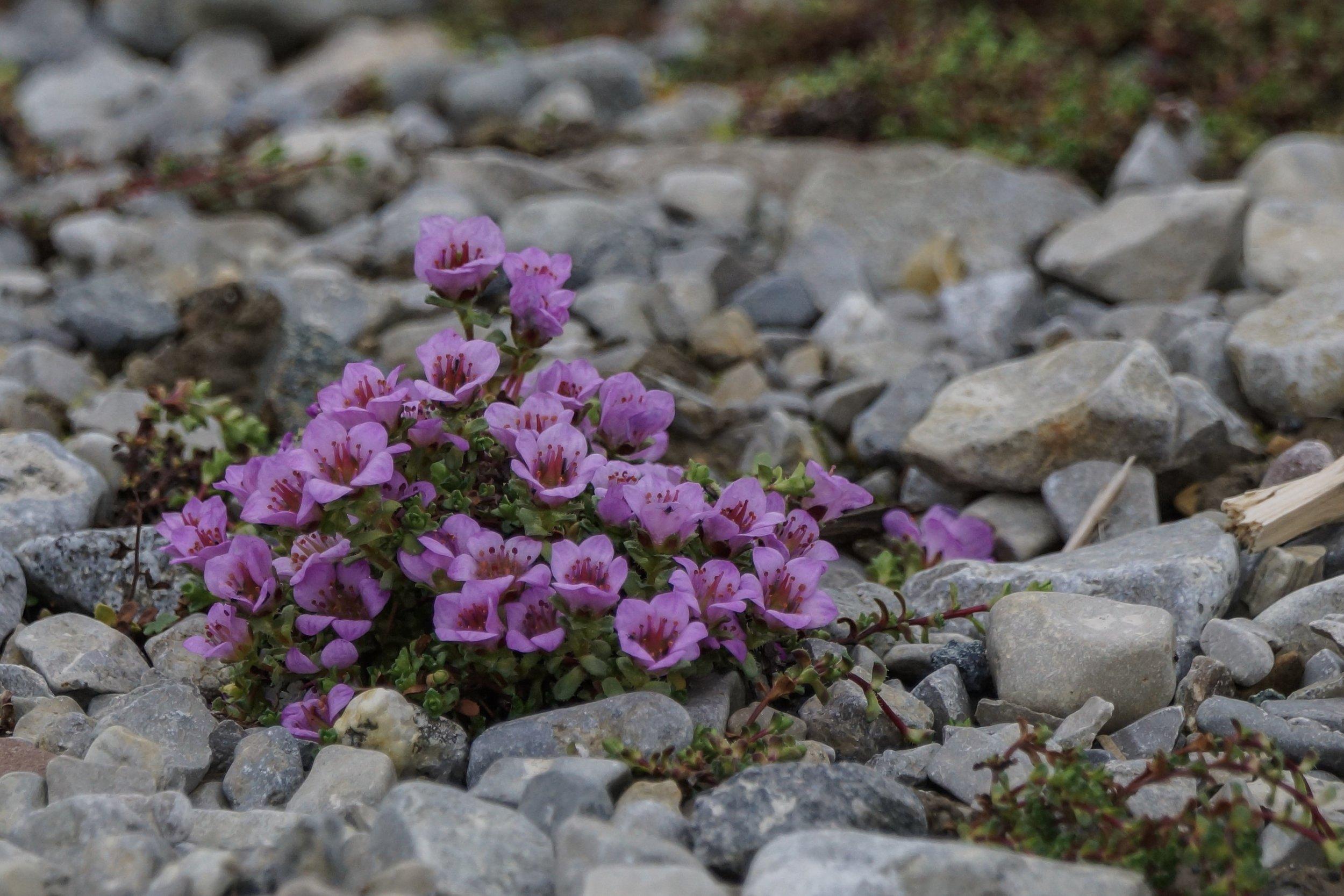 Svalbard Flora