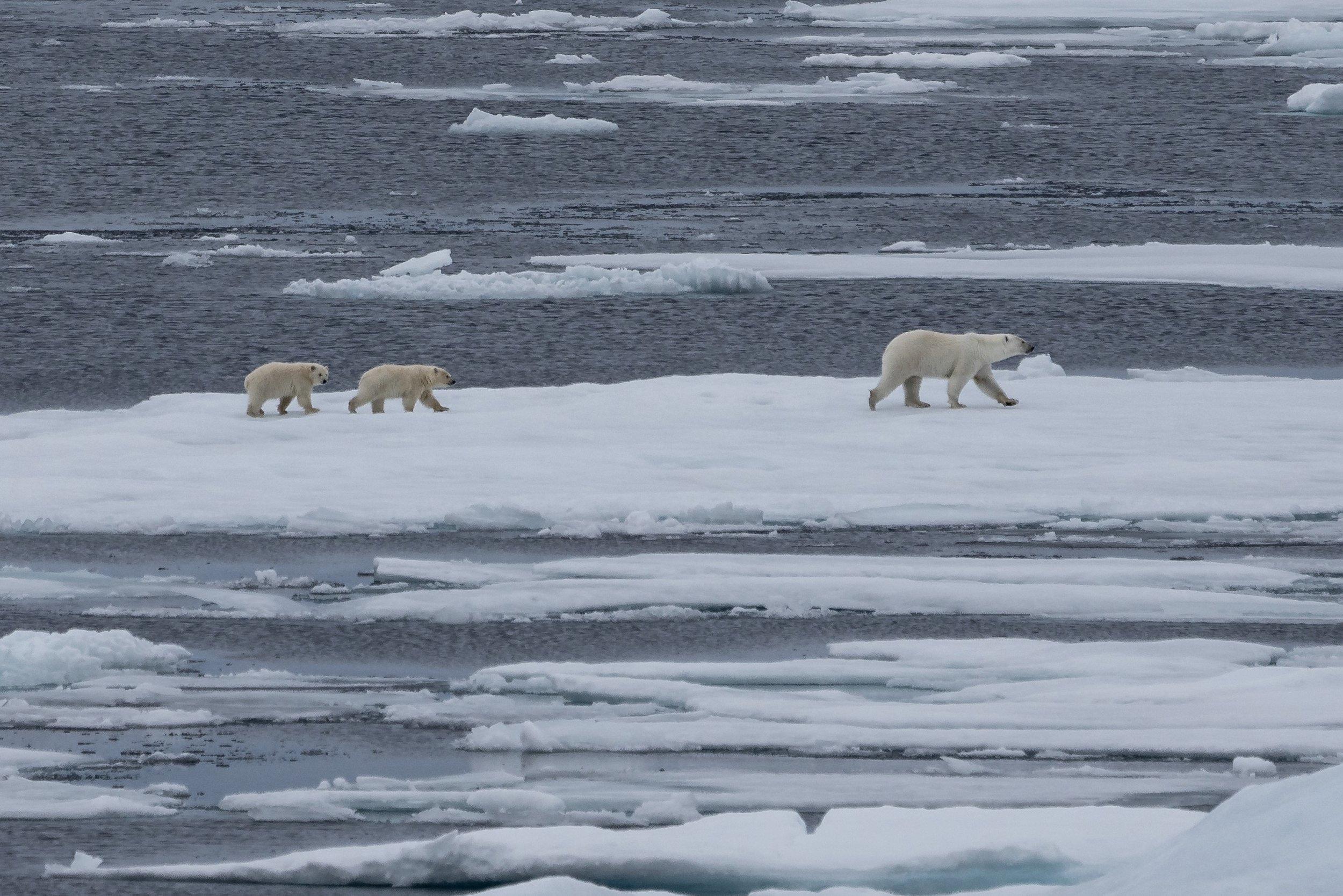 Polar Bear Taxi