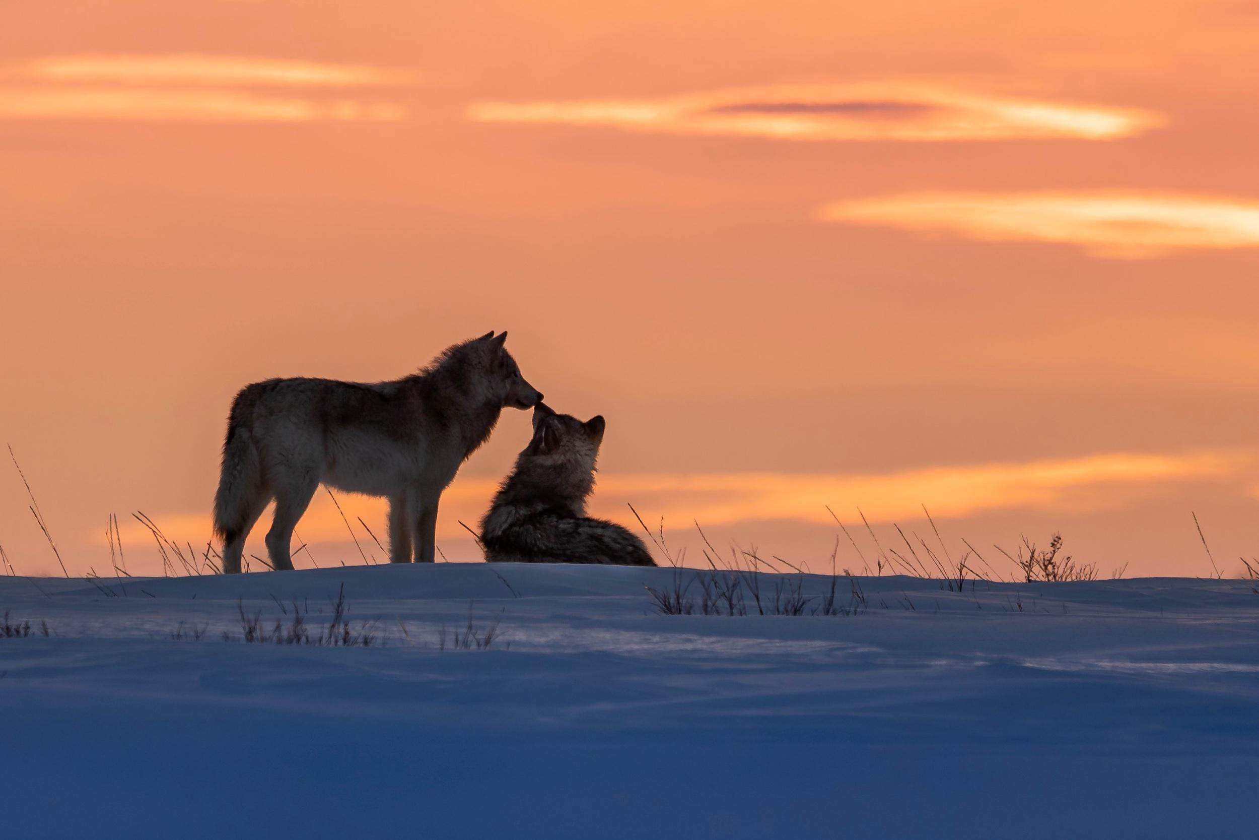 Kissing Wolves