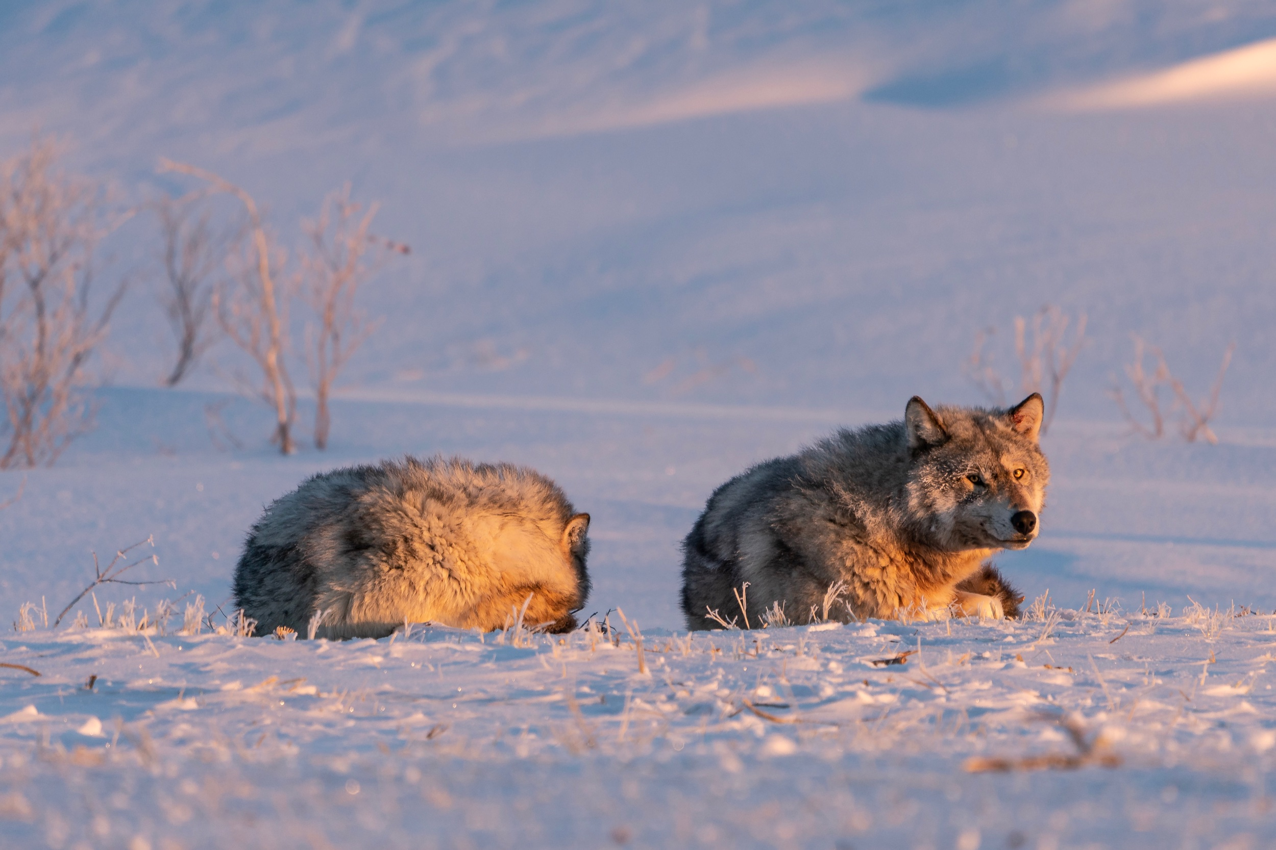 Smirking Wolf