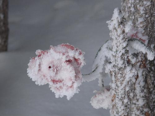 Frozen+Rose,+Aspen.jpg