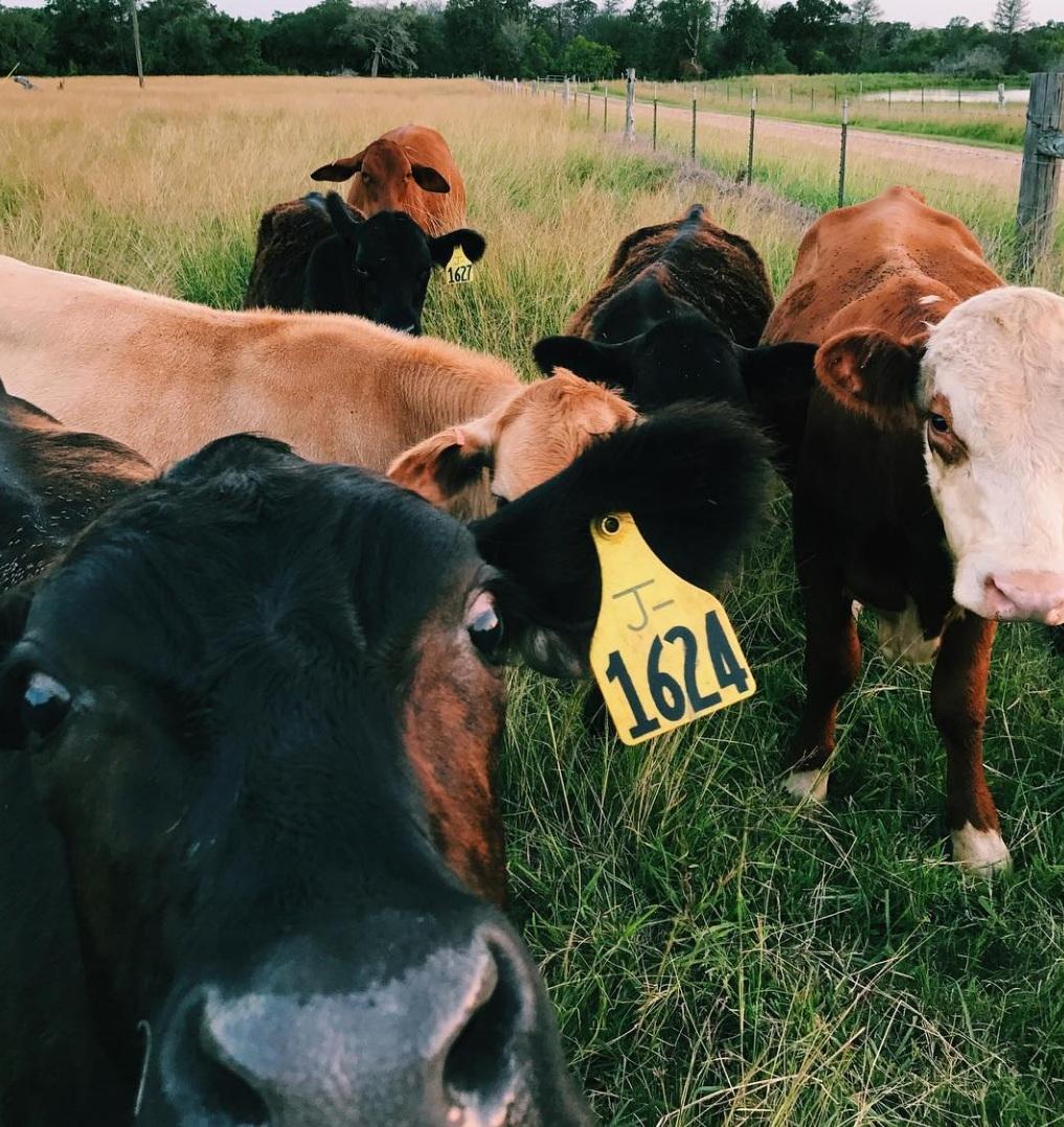 cows-nose