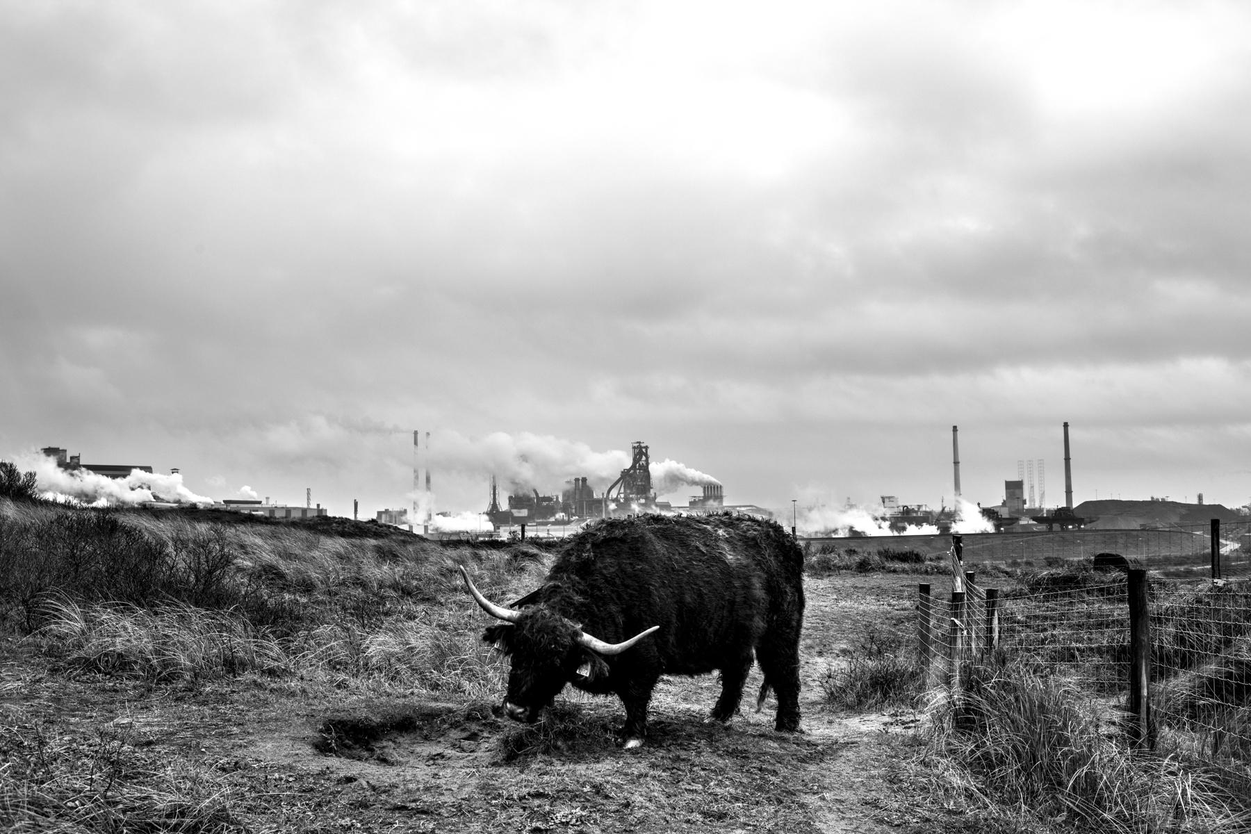 An Irish cow is rubbing itself against a wood-stick in the dunes, facing the giant steel factory in Wijk aan Zee