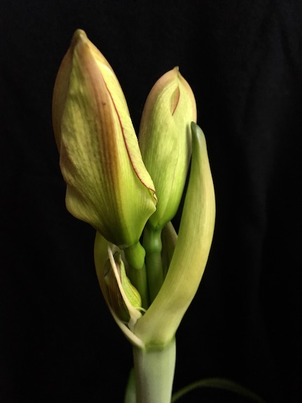 amarylis bud.jpg