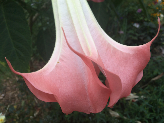 brugmasia-pink.jpg
