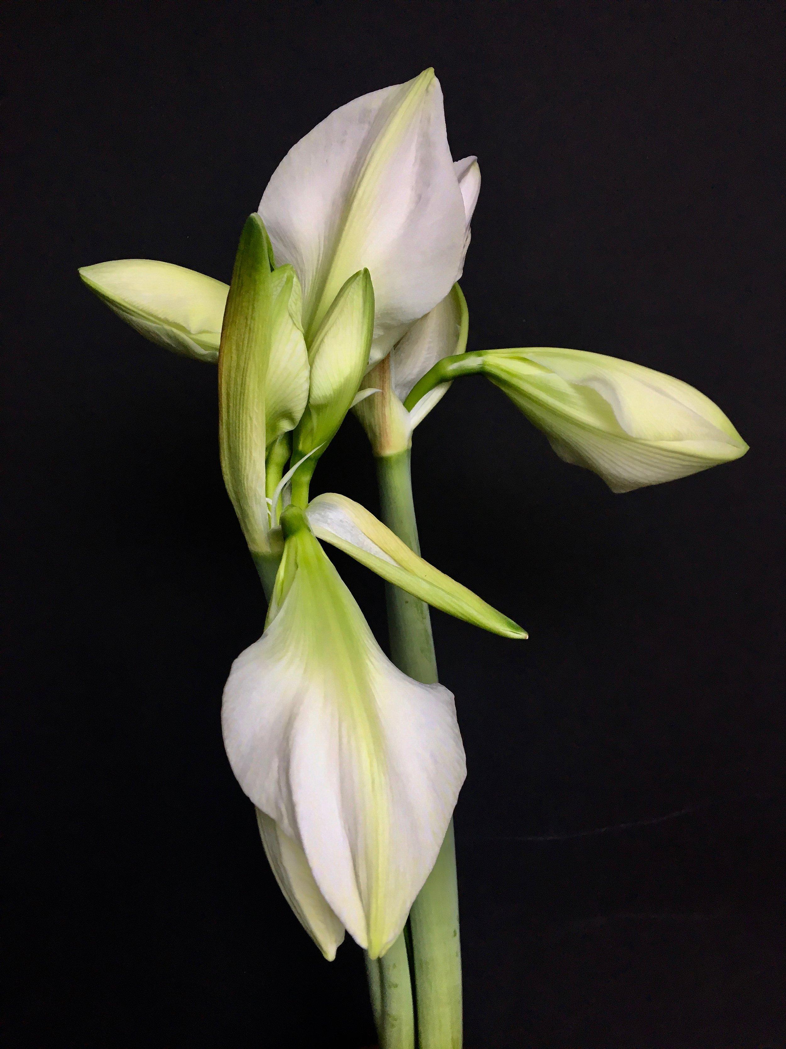 amarylis bud 4.jpeg