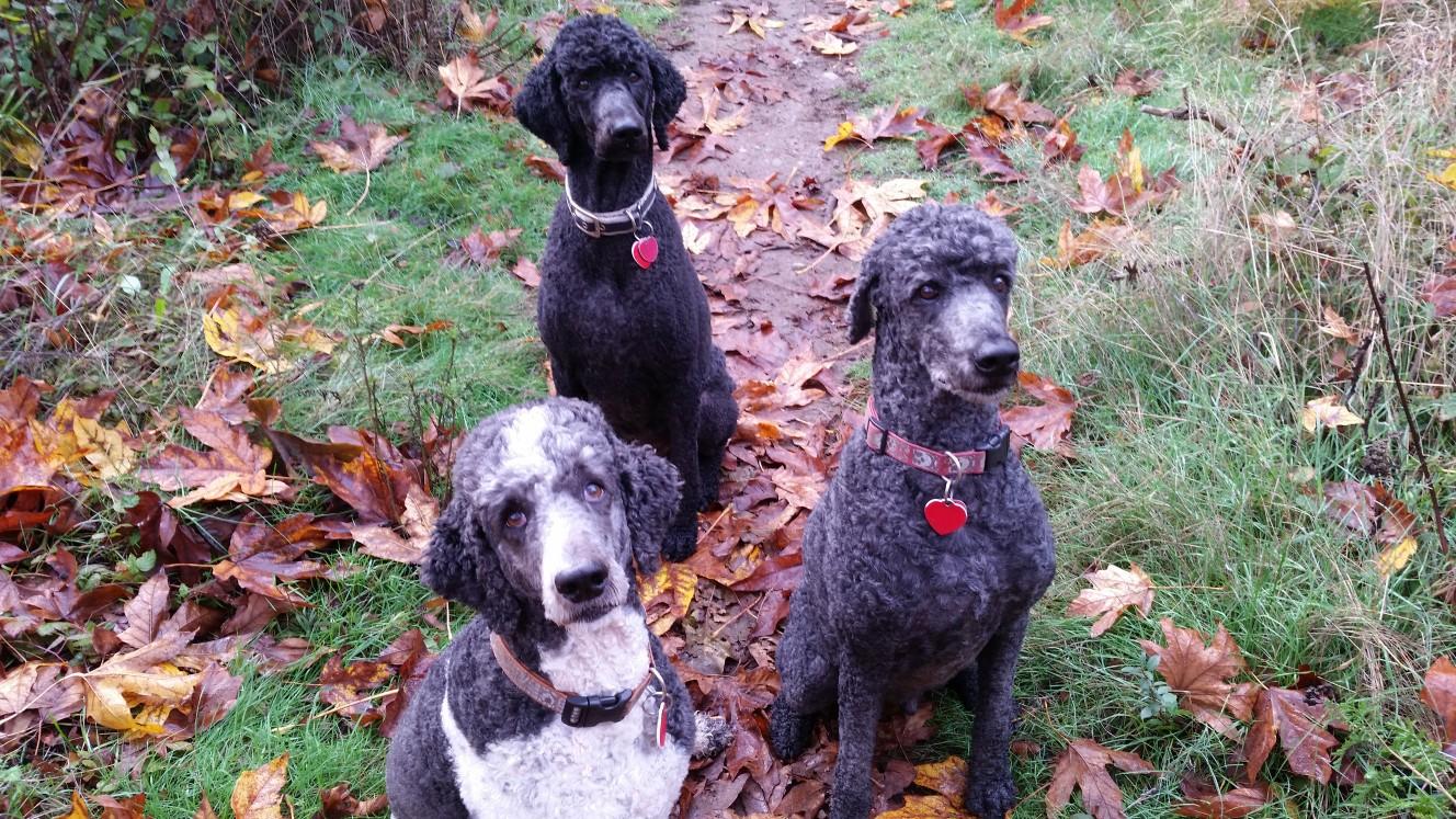 more poodles