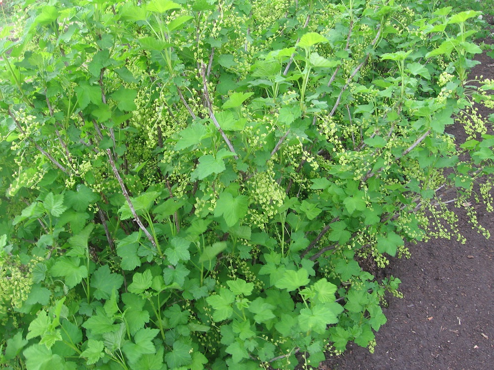 may28redcurrants.jpg