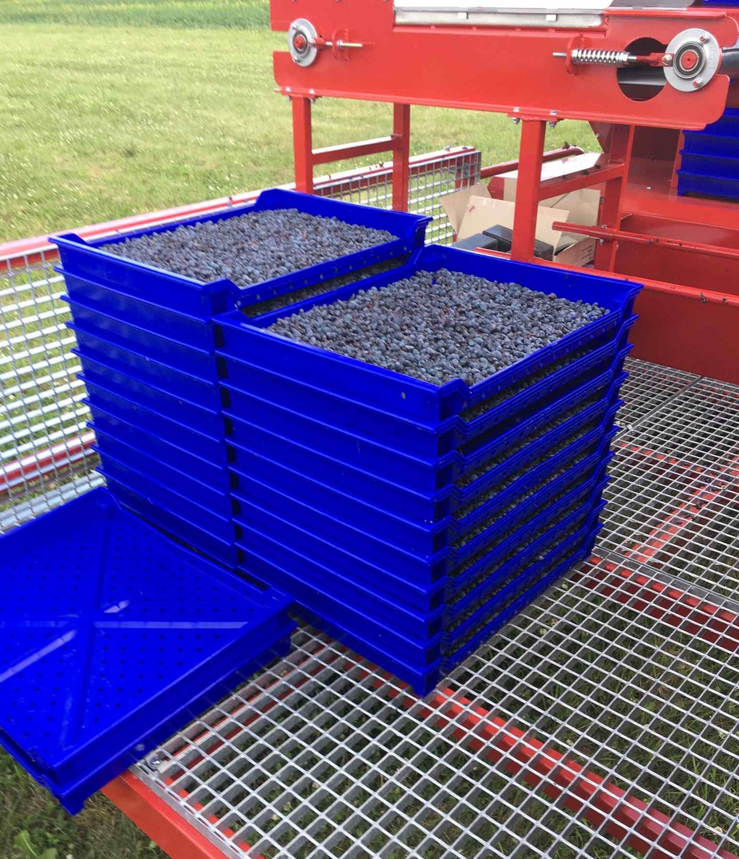 - The berries fall from the chute onto a sorting conveyor belt into trays. Manual sorting takes place at that time to ensure all vegetation and other debris, material other than Haskap, is removed from the trays. The trays are stacked and moved to the transport trailer. The berries are then transported to the final sorting facility, where they are washed, sorted a final time, cooled with cold water, and packed into boxes and buckets.