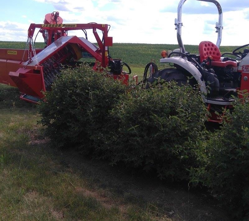 "- The harvester is hauled by our tractor. The rows were designed to accommodate the width of the equipment. Half of the bush is ""picked"" by the harvester at a time. The bush is shaken and the berries fall onto a conveyer belt into the harvester chute, past a blower which pushes out debris, and onto the sorting conveyor."