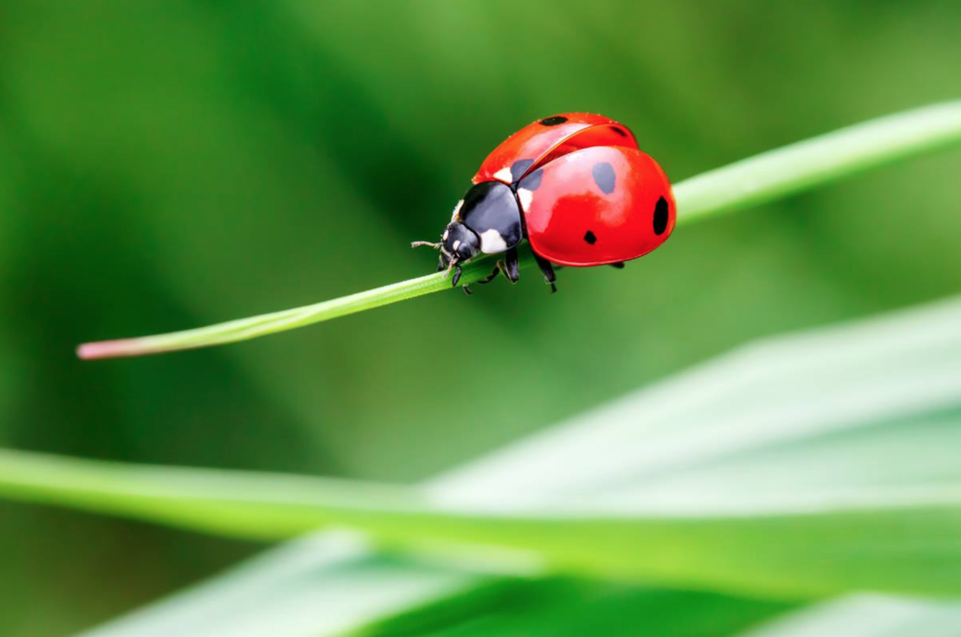 - Harmonia axyridis, the common Ladybug or Multi-Coloured Asian Lady Beetle (MALB)