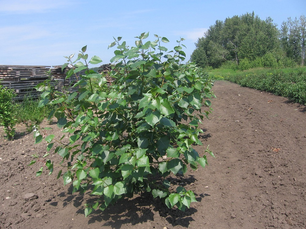 - We use Walker Poplars to make tree-lines and shelterbelts for all the orchards. They are fast-growing and hardy.
