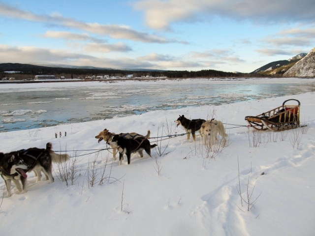Dog sled tour along the Yukon River across from Eagle, Alaska