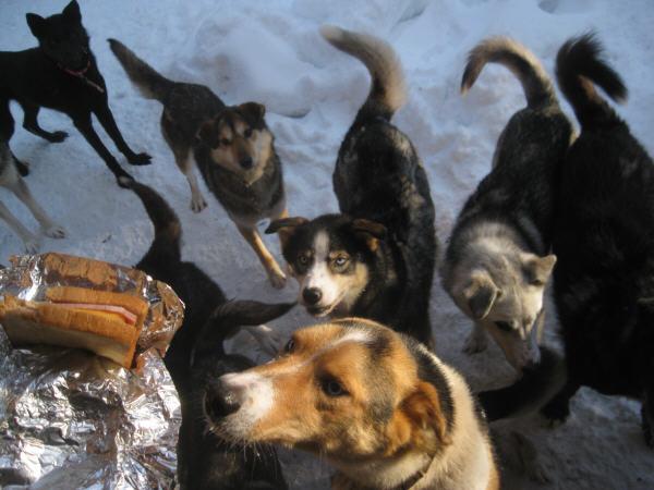 Friendly Alaska sled dogs - huskies