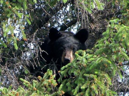 Black Bear Eagle, Alaska, Yukon River