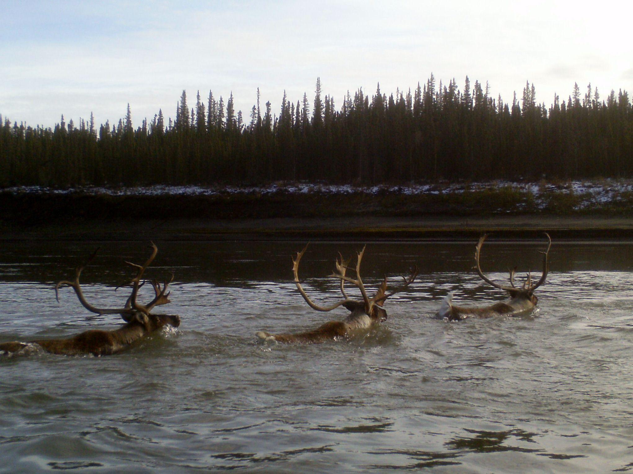 Caribou swimming Yukon River, Eagle, Alaska