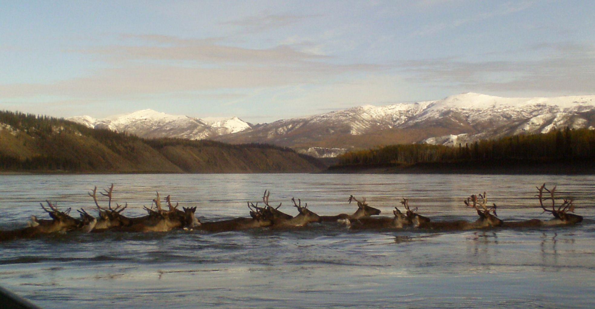 caribou Yukon River, Alaska, National Park Service Yukon Charley Rivers Preserve