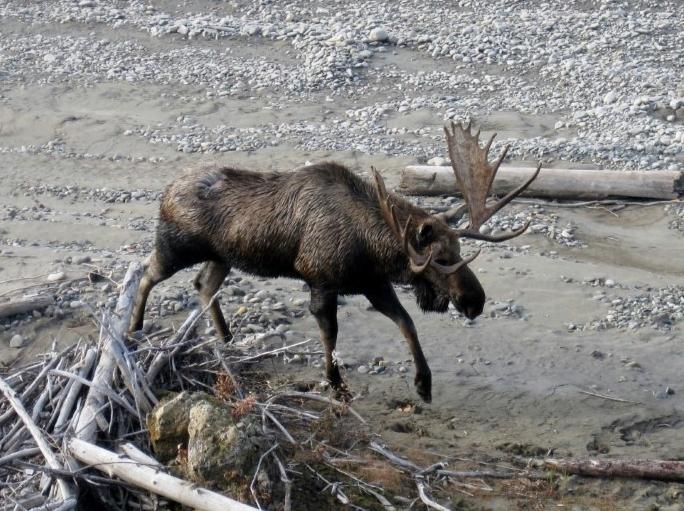 Moose on the Yukon River Beach, wilderness Alaska