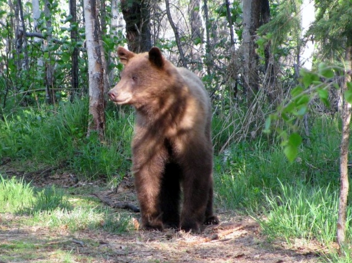 Cinnamon black bear near Eagle, Alaska, Yukon River